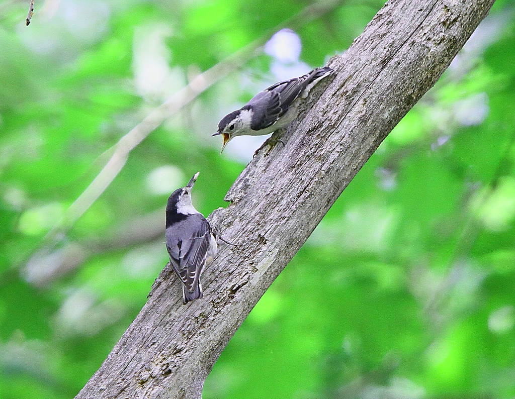 028_Two-nuthatches-Doug-Pederson-1