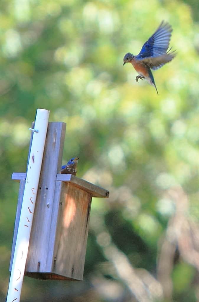 030_Two-bluebirds-at-nest_Doug-Pederson