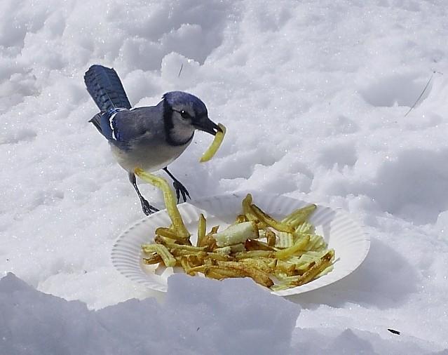 035_Blue-jay_Doug-Pederson