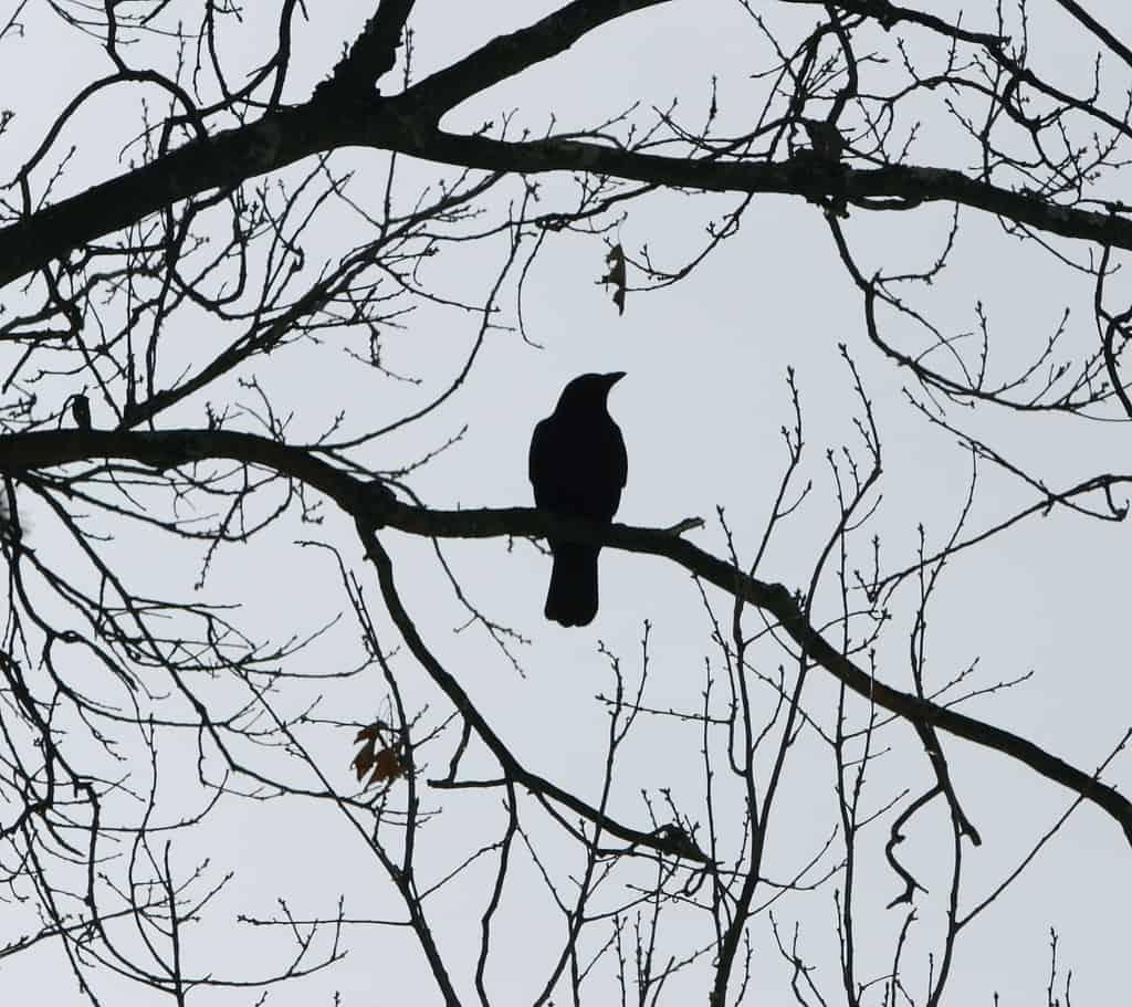 041_Solitary-Crow_Doug-Pederson