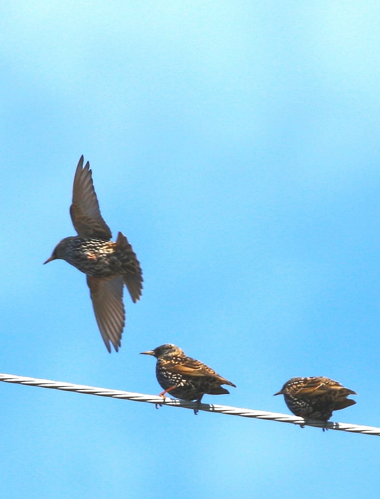 042_Starlings_Doug-Pederson