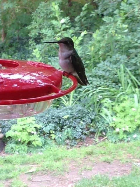 047_Female-hummingbird_Rosemarie-Koester