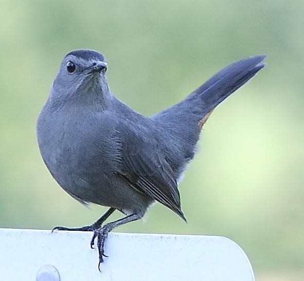 049_Gray-cat-bird_Doug-Pederson