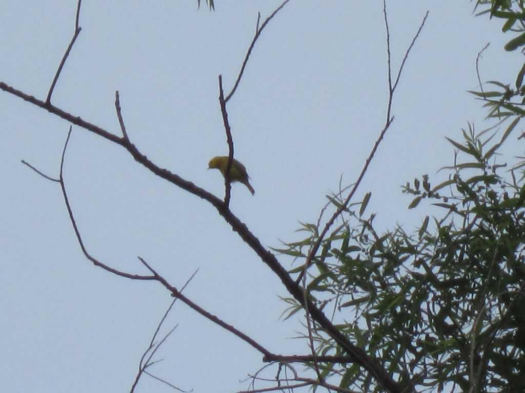 050_Yellow-Warbler_-Chris-Daley