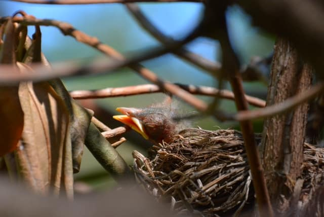 058_Robins-nest_Don-Miffit