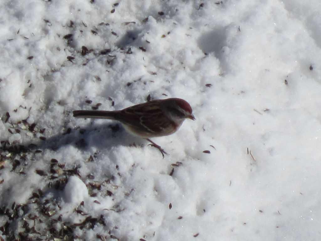 061_Tree-Sparrow_Chris-Daley