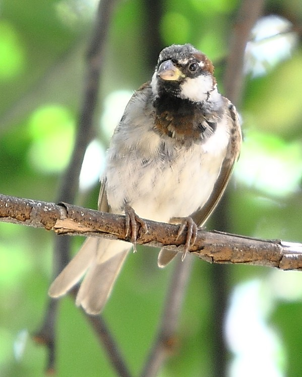 062_Male-House-Sparrow-Doug-Pederson
