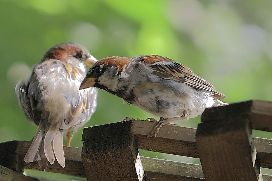 063_Two-House-Sparrows-Doug-Pederson