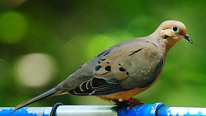 065_Mourning-dove_Doug-Pederson