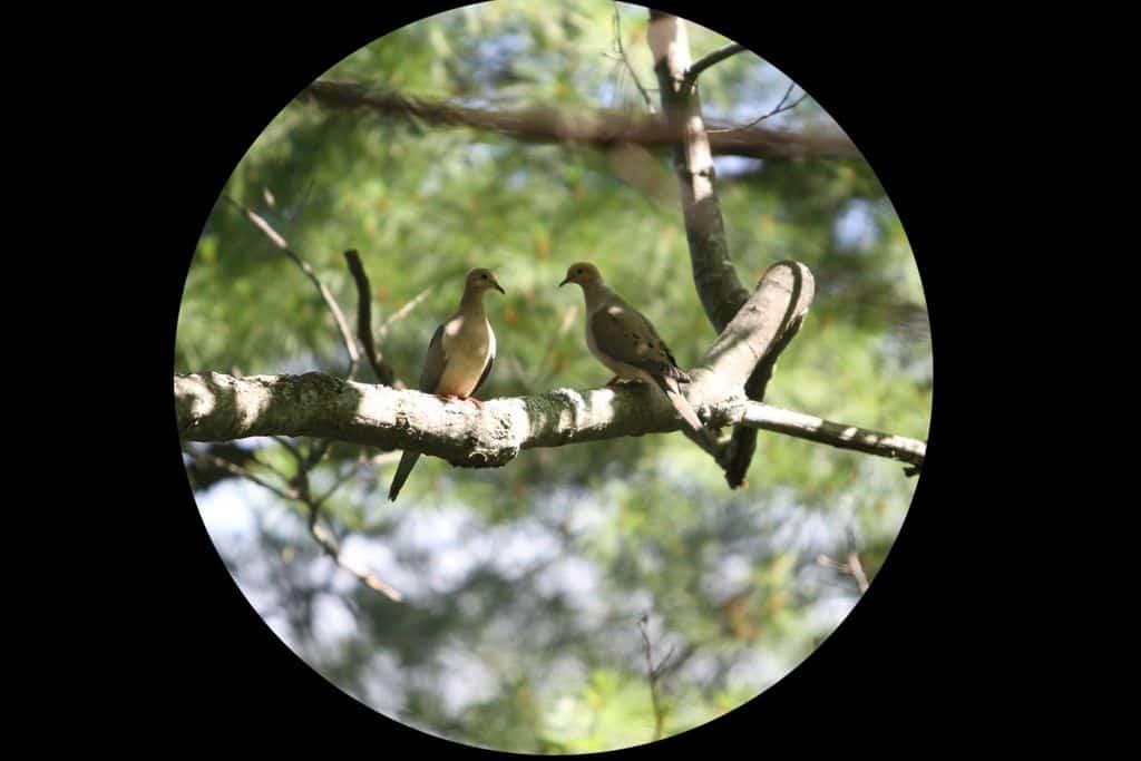 065a_Mourning-doves-5_Doug-Pederson
