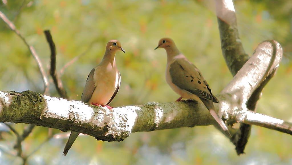 066_Mourning-doves_-Doug-Pederson-2