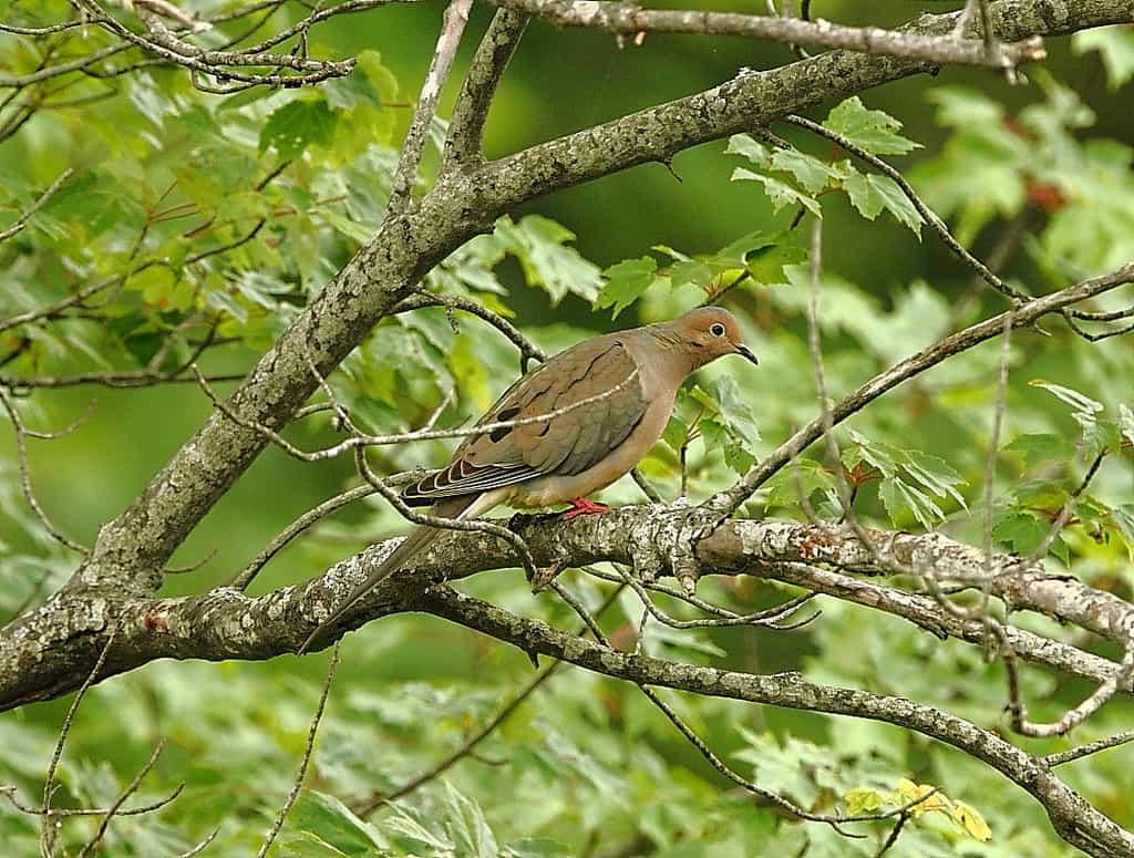 068_Mourning-dove-2-Doug-Pederson