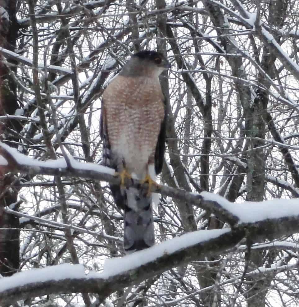 074_Coopers-hawk-in-snow_Ron-Gemma
