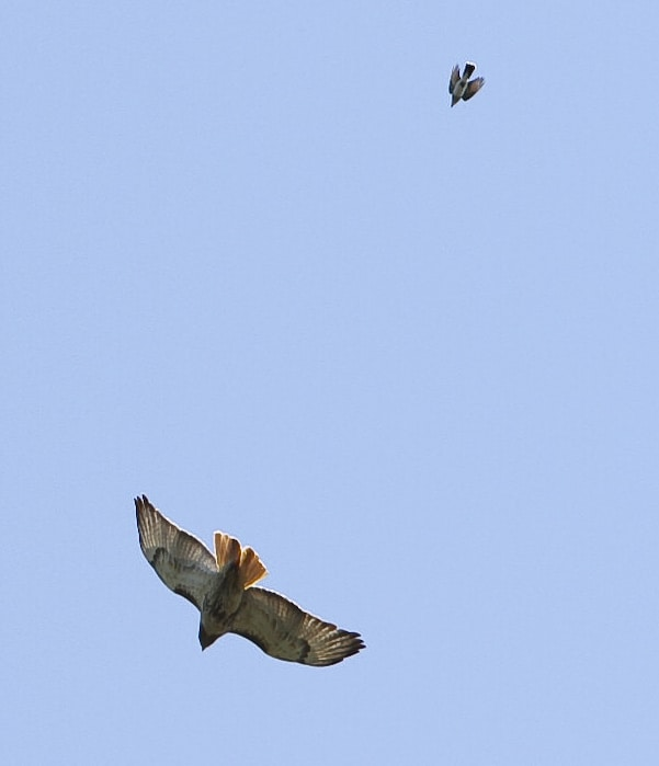 083_KIngbird-Dive-bombing-Red-tailed-Kingbird-and-Hawk_Doug-Pederson.jpg-small-