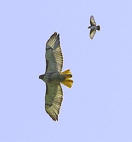 084_Red-tail-hawk-2_Doug-Pederson
