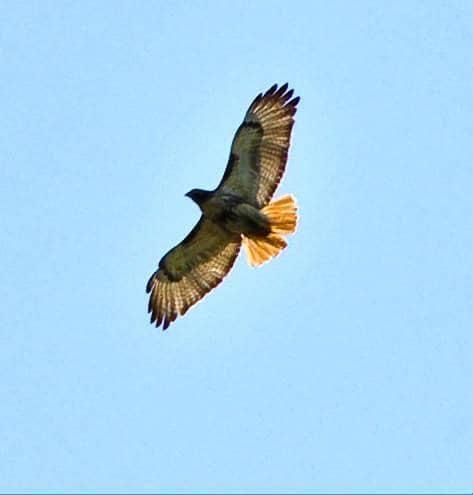 085_Red-tailed-Hawk-Soaring_Doug-Pederson-adj