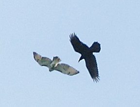 086_Red-tailed-hawk-and-Raven_Doug-Pederson