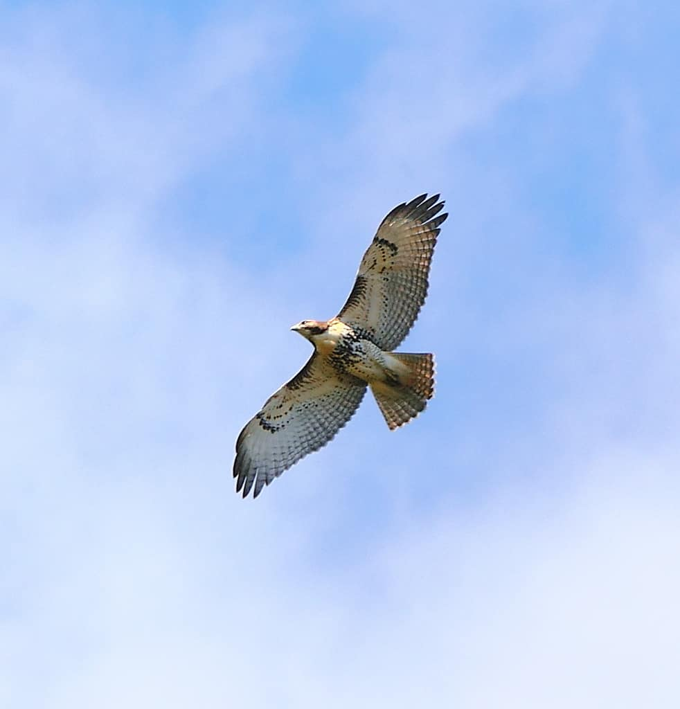 087_Red-tailed-Hawk_Doug-Pederson