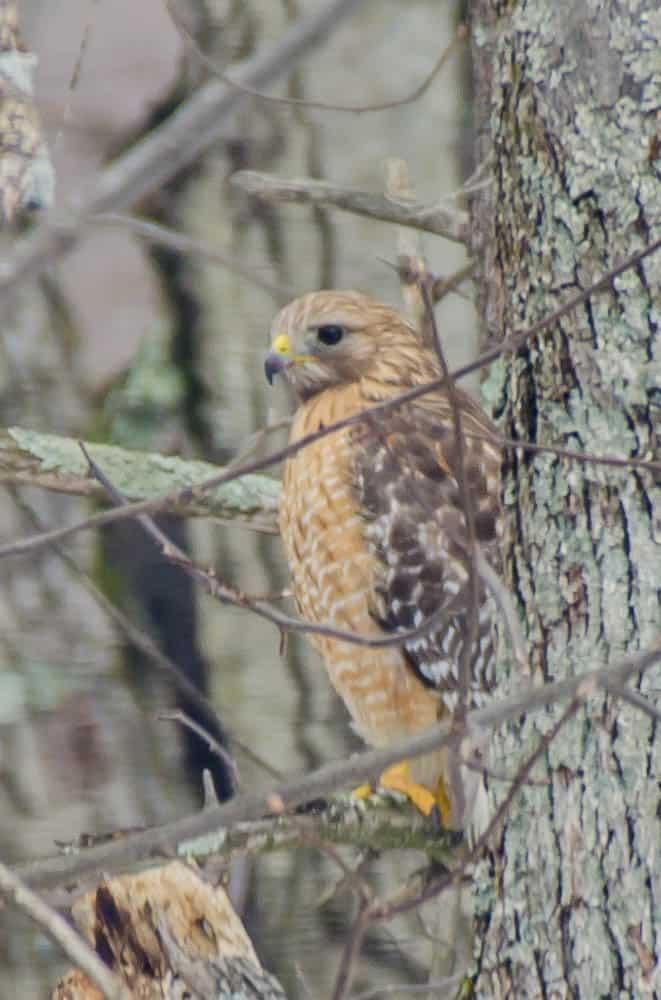 087a_Red-shouldered-Hawk-John-Piekos