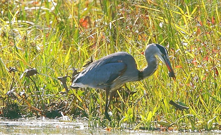 091c_Great-Blue-Heron3_Doug-Pederson