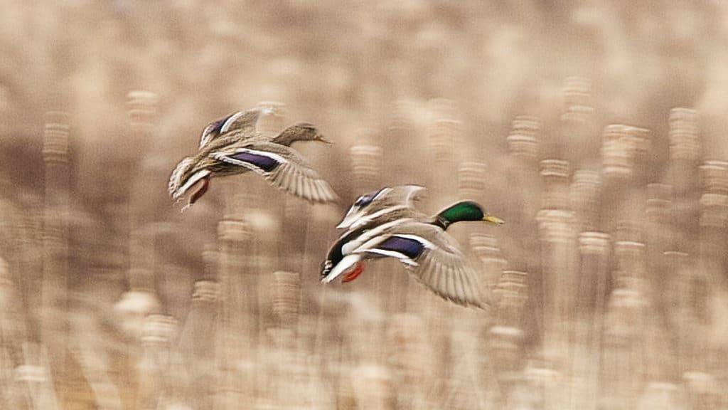 099_Mallards-in-flight_Doug-Pederson
