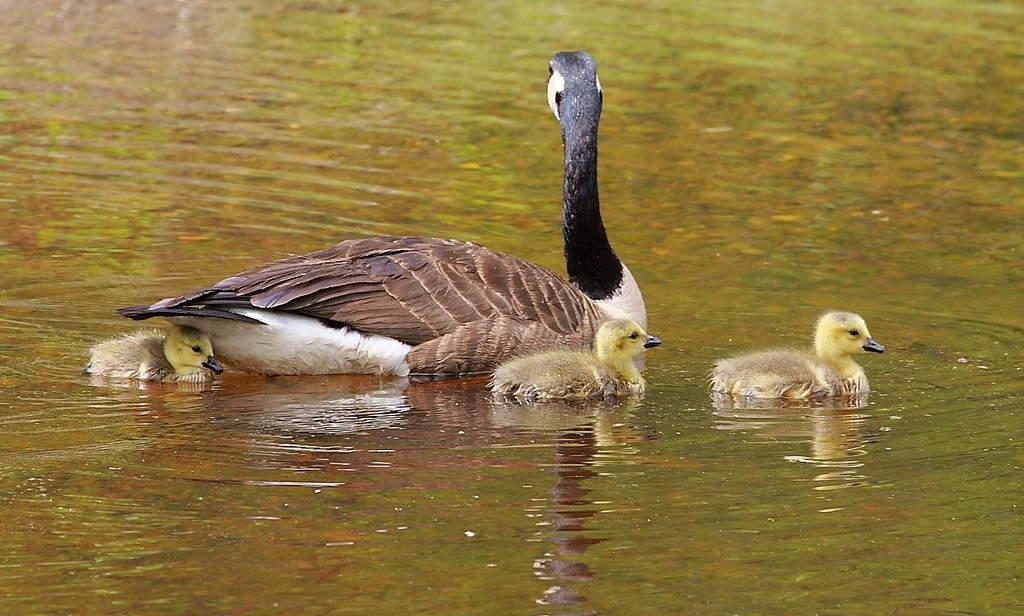100_Goose-and-goslings-2_Doug-Pederson