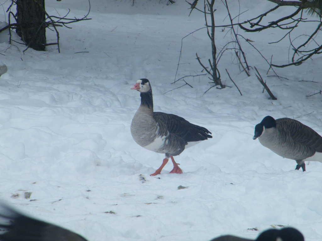 105_Hybrid-goose1_Debbie-Prato