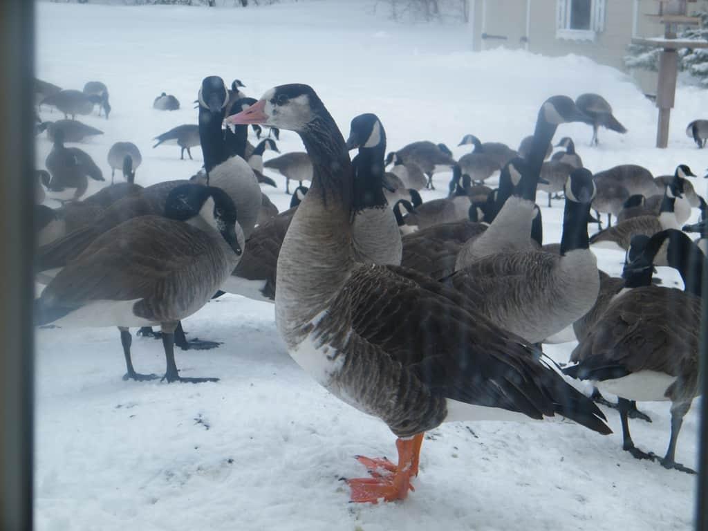 106_Hybrid-Goose_Debbie-Prato