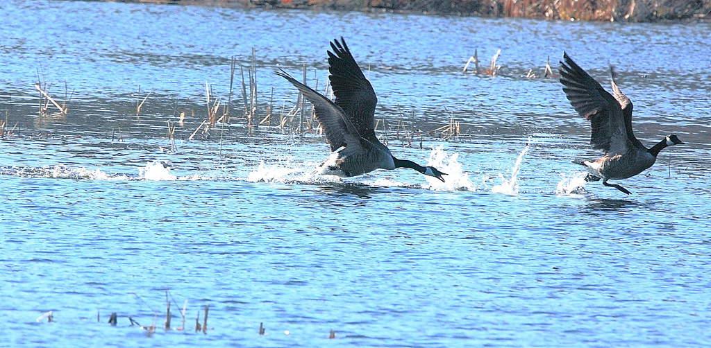 107_Canada-Geese_-Doug-Pederson-copy