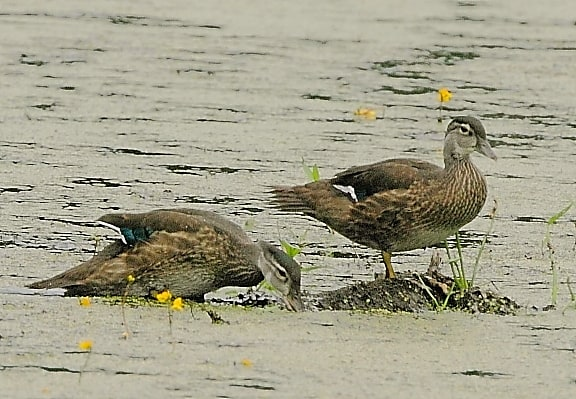 110_Female-Wood-ducks_Doug-Pederson