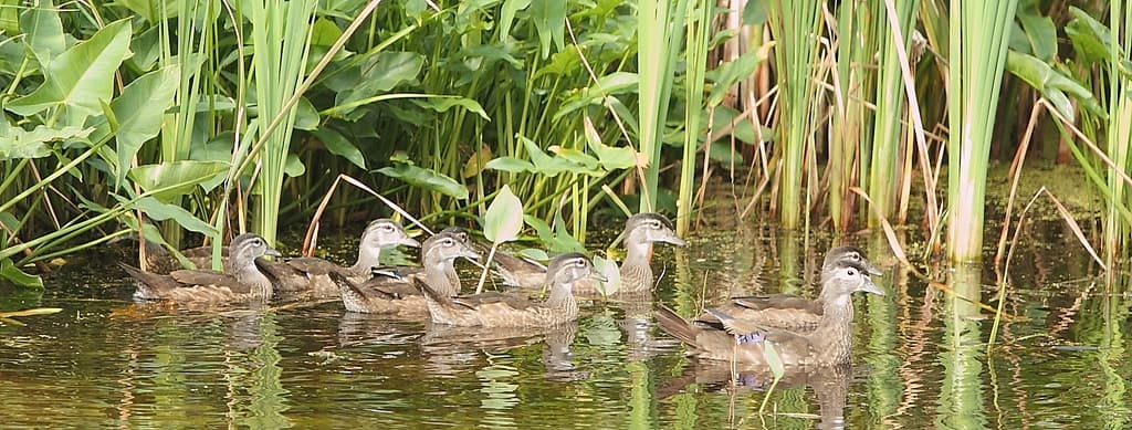 111_Wood-Duck-flock_Doug-Pederson