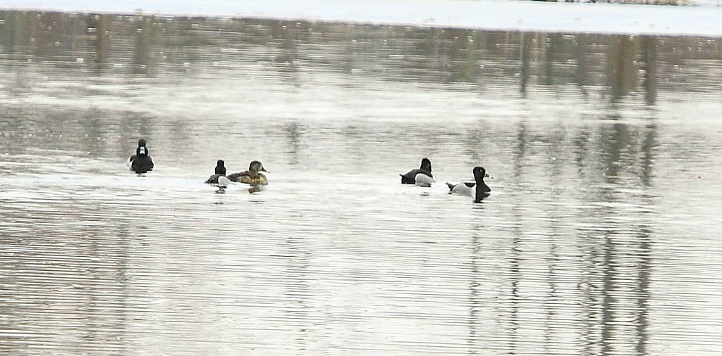 116_Ring-necked-Ducks-2-_Doug-Pederson