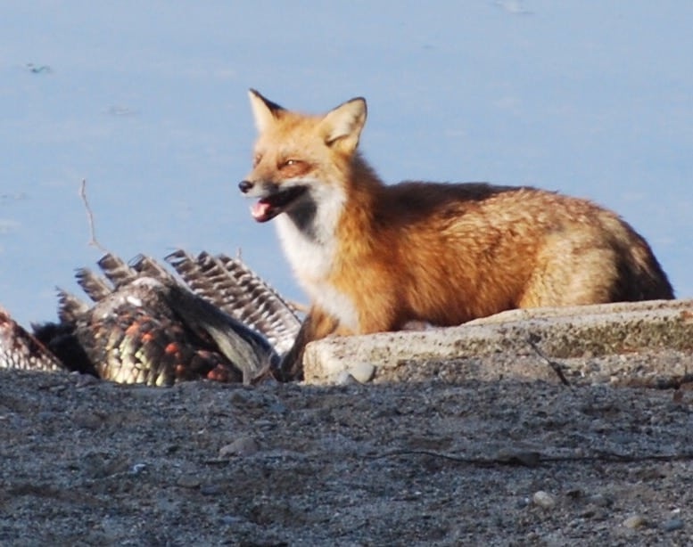122_Red-Fox-and-turkey_Larry-Jones