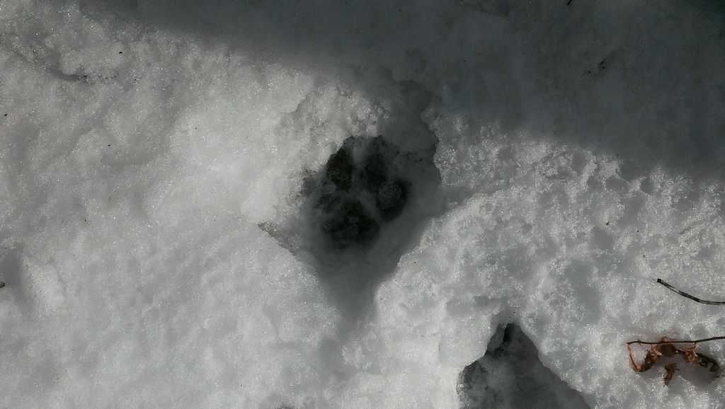 126a_Bobcat-Print_Tom-Ennis