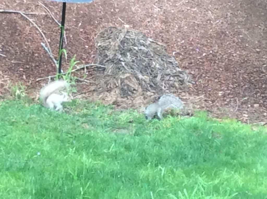 128a_White-Squirrel_Esther-Donon