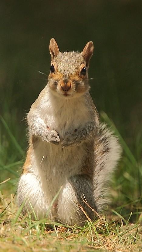 130_Grey-Squirrel_Doug-Pederson