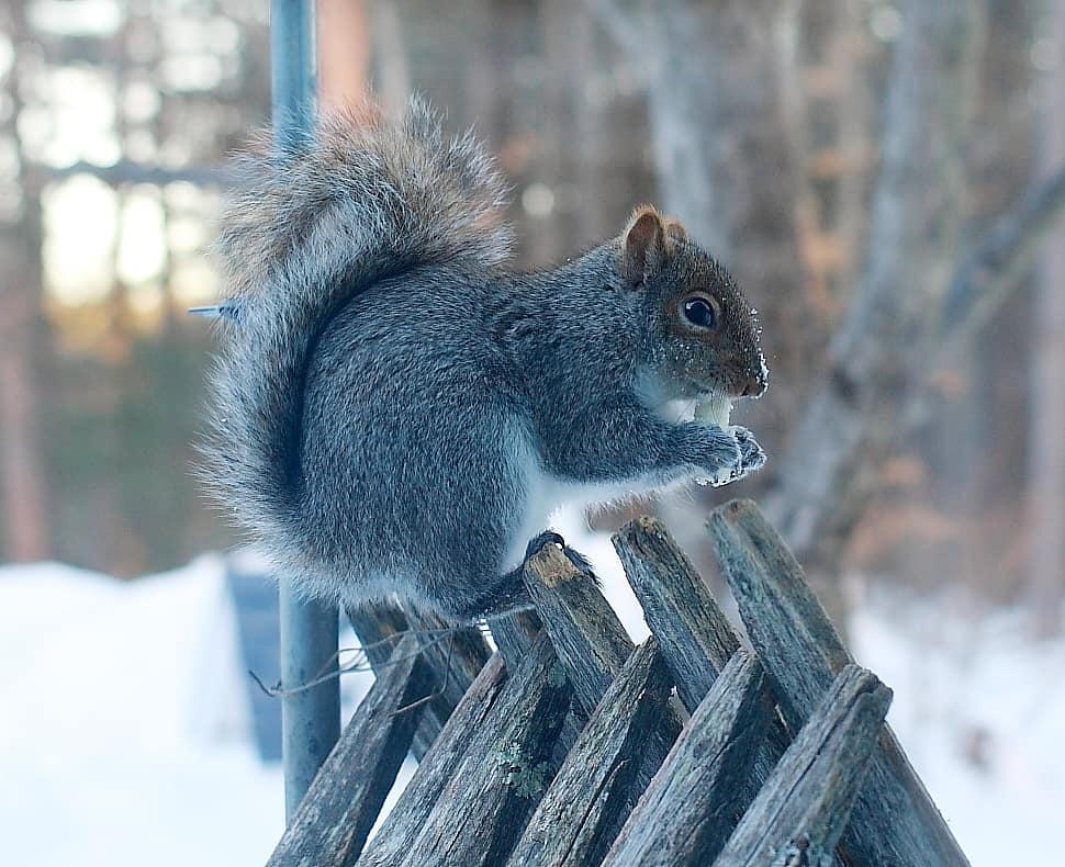 133_Squirrel-@-driveup-window_Doug-Pederson