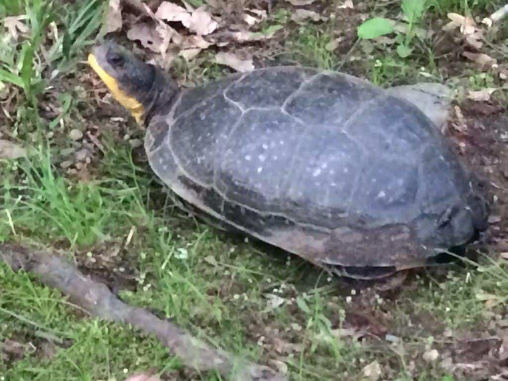 135_Blandings-Turtle-1-Howard-Rd-Diane-Duane