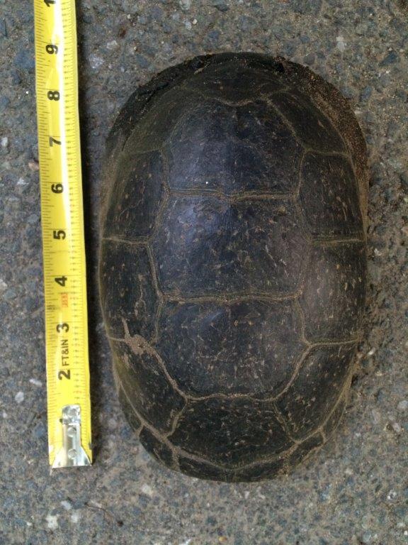 136_Blandings-Turtle_Diane-Duane