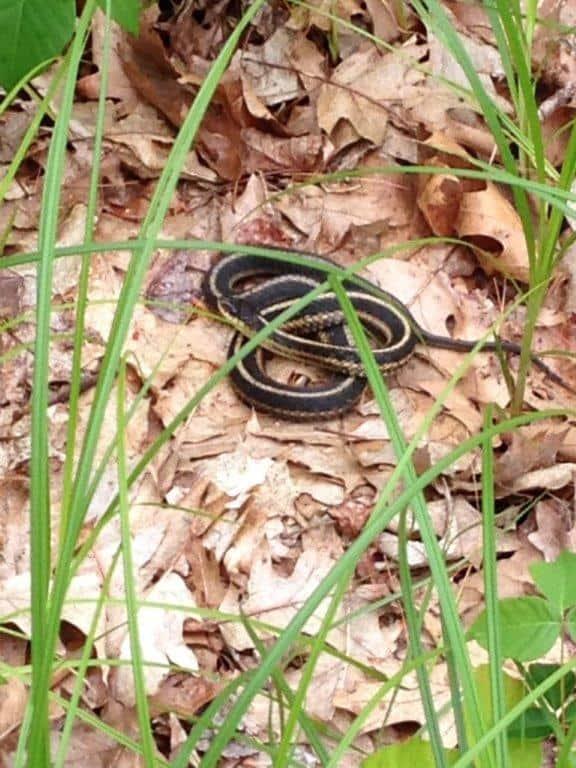 138_Garter-Snake_Diane-Duane