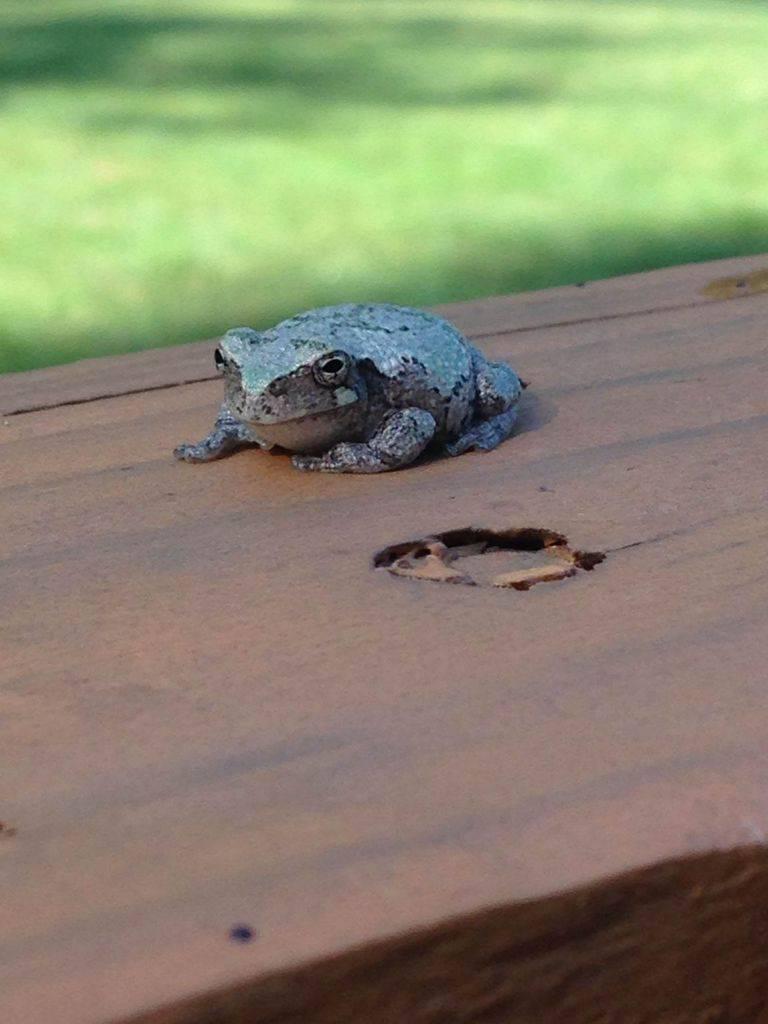 140_Grey-Tree-Frog_Emily-Edwards