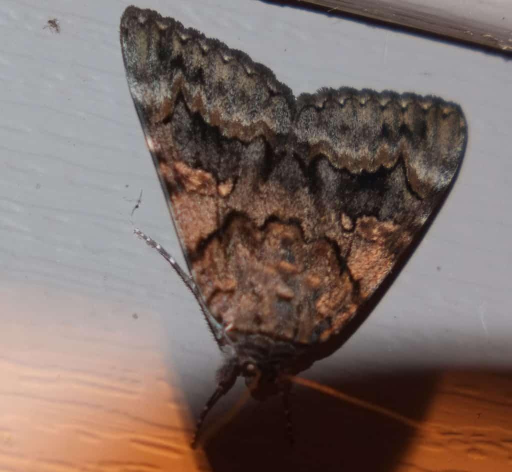 145_Moth_Diane-Duane