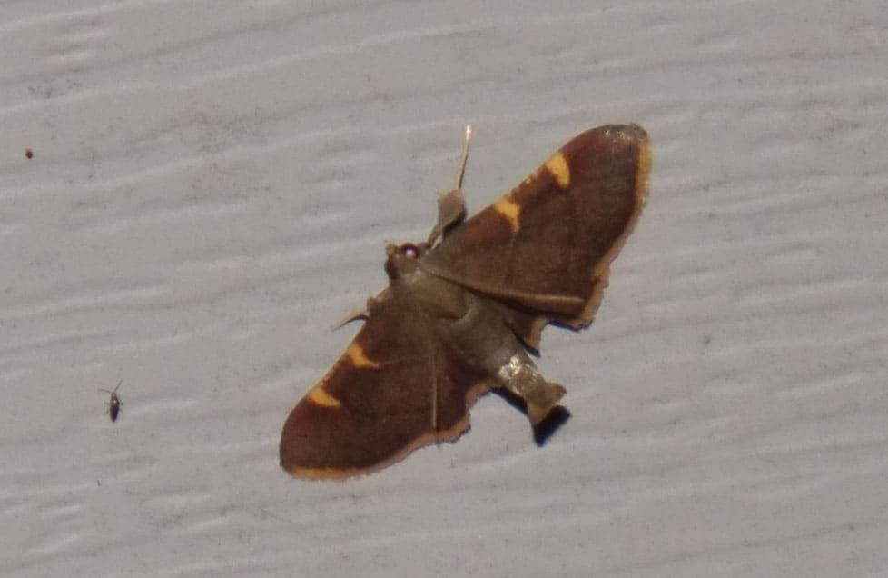 146_MothBrownGoldStreak_Sphinx-Moth_-Diane-Duane