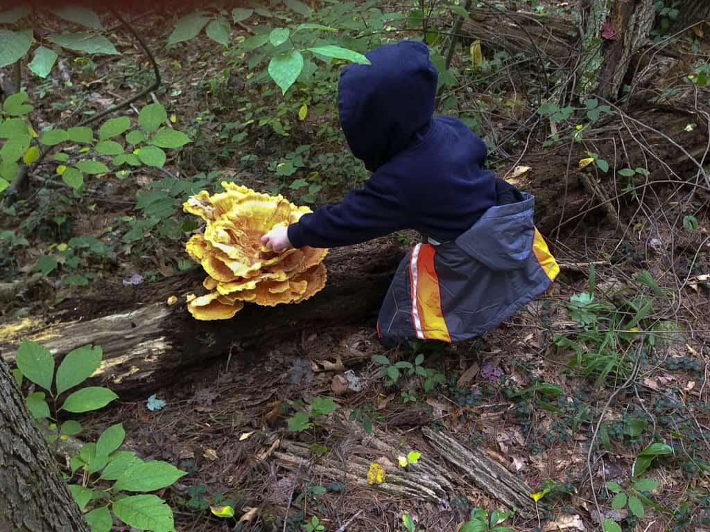150_Chicken-of-the-Woods-Mushroom_Bill-Harman