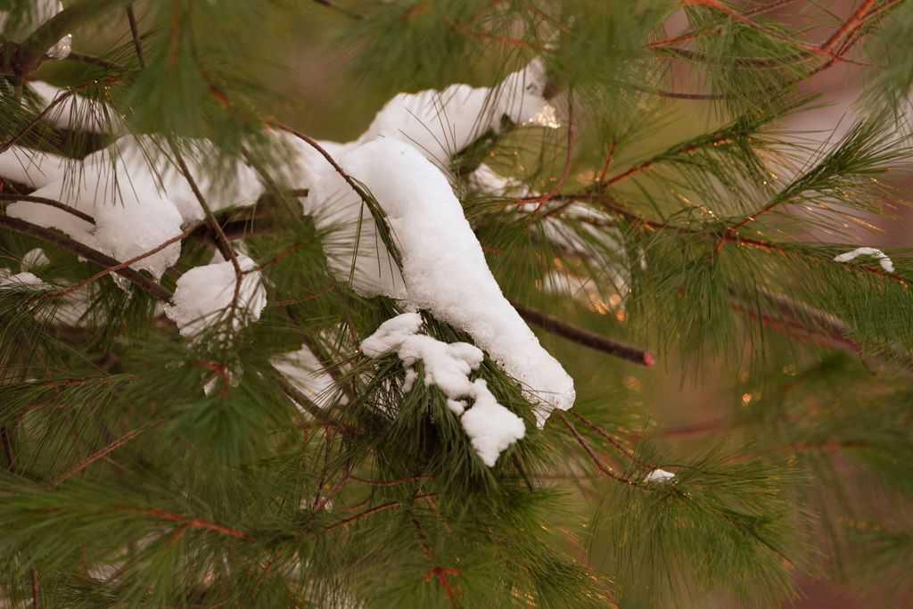 167_Snow-and-evergreen_Doug-Pederson