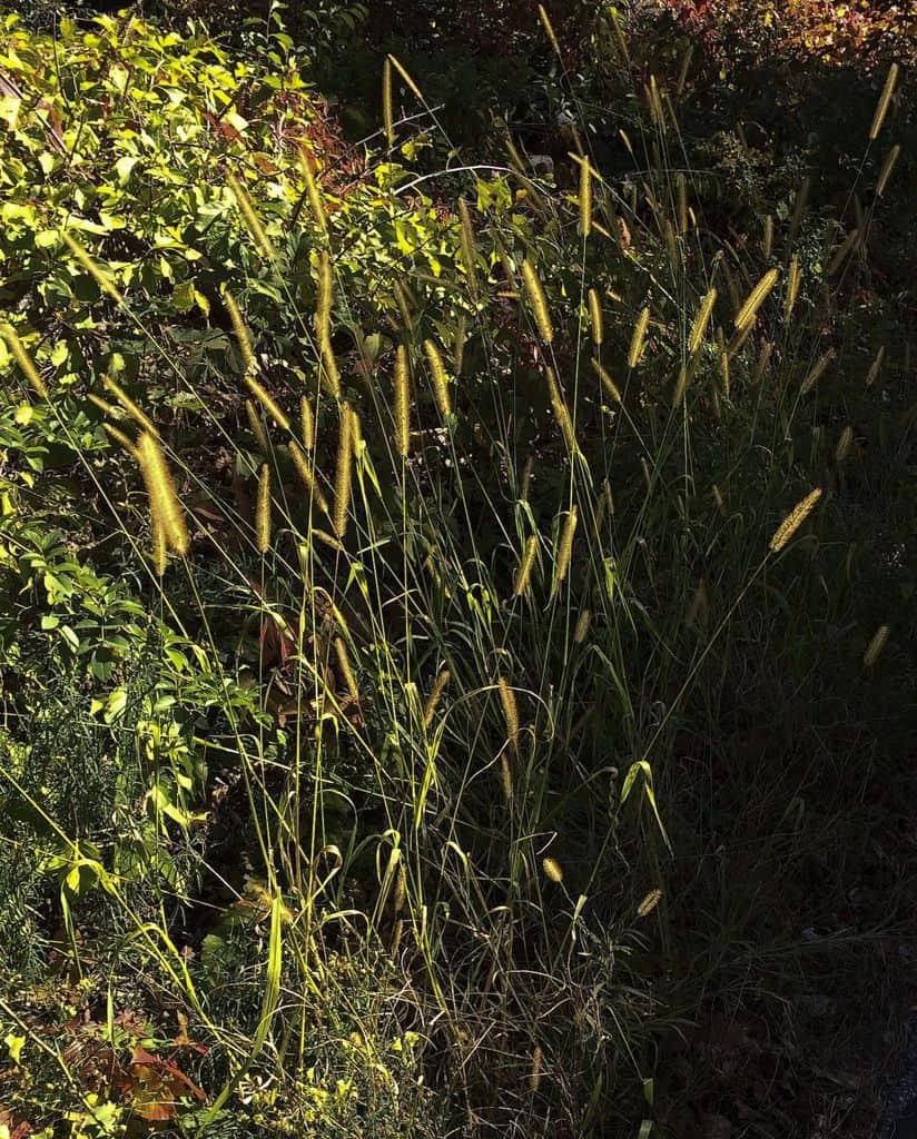 175c_Sunlit-Grasses_Marian-Harman