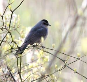 Grey Catbird_Doug Pederson